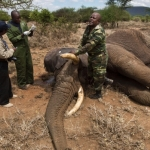 [AUDIO] Why reducing ivory demand in China will not curb poaching in Africa