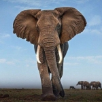 China's Plan To Ban Ivory Sales Will Not Save Africa's Elephants