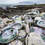 [AUDIO] China's appetite for abalone spurs organized crime in South Africa